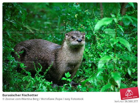 Eurasischer Fischotter. Стоковое фото, фотограф Zoonar.com/Martina Berg / easy Fotostock / Фотобанк Лори