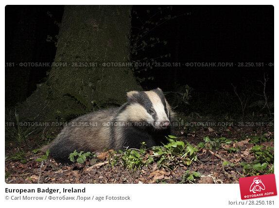 Купить «European Badger, Ireland», фото № 28250181, снято 4 апреля 2017 г. (c) age Fotostock / Фотобанк Лори