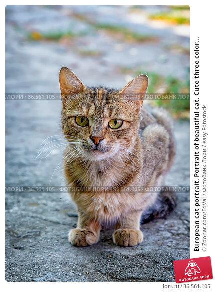 European cat portrait. Portrait of beautiful cat. Cute three color... Стоковое фото, фотограф Zoonar.com/EdVal / easy Fotostock / Фотобанк Лори