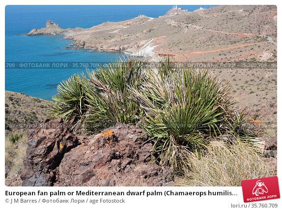 European fan palm or Mediterranean dwarf palm (Chamaerops humilis... Стоковое фото, фотограф J M Barres / age Fotostock / Фотобанк Лори