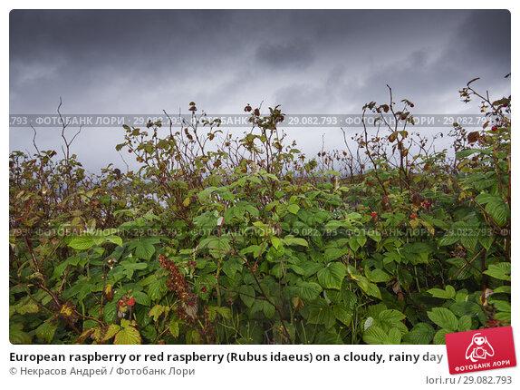 Купить «European raspberry or red raspberry (Rubus idaeus) on a cloudy, rainy day», фото № 29082793, снято 10 августа 2018 г. (c) Некрасов Андрей / Фотобанк Лори