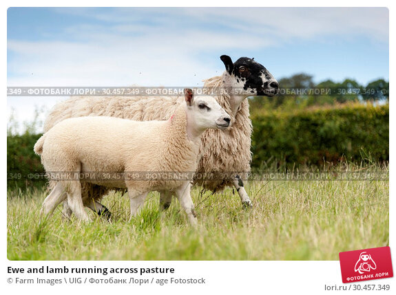 Ewe and lamb running across pasture. Стоковое фото, фотограф Farm Images \ UIG / age Fotostock / Фотобанк Лори