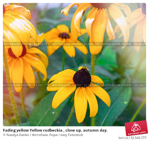 Купить «Fading yellow Yellow rudbeckia , close up, autumn day.», фото № 32543777, снято 1 августа 2019 г. (c) easy Fotostock / Фотобанк Лори