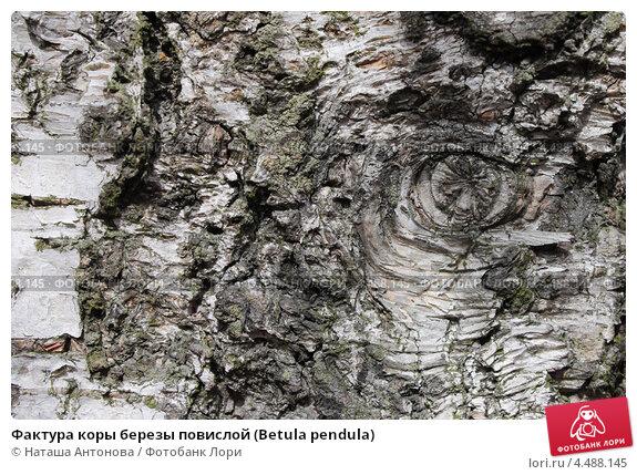 Купить «Фактура коры березы повислой (Betula pendula)», эксклюзивное фото № 4488145, снято 9 апреля 2013 г. (c) Ната Антонова / Фотобанк Лори