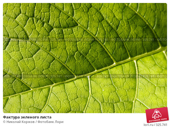 Фактура зеленого листа, фото № 325741, снято 13 июня 2008 г. (c) Николай Коржов / Фотобанк Лори