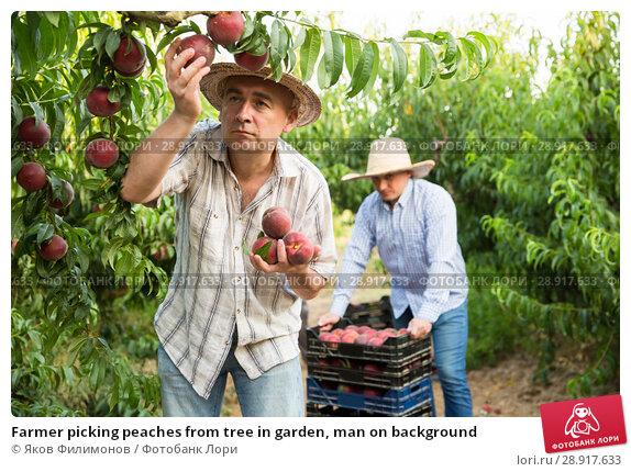 Купить «Farmer picking peaches from tree in garden, man on background», фото № 28917633, снято 11 июля 2018 г. (c) Яков Филимонов / Фотобанк Лори