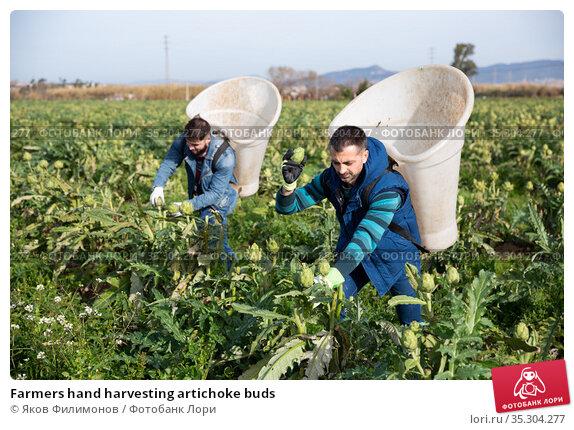 Farmers hand harvesting artichoke buds. Стоковое фото, фотограф Яков Филимонов / Фотобанк Лори