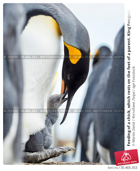 Feeding of a chick, which rests on the feet of a parent. King Penguin (Aptenodytes patagonicus) on the Falkland Islands in the South Atlantic. South America, Falkland Islands, January. Стоковое фото, фотограф Martin Zwick / age Fotostock / Фотобанк Лори