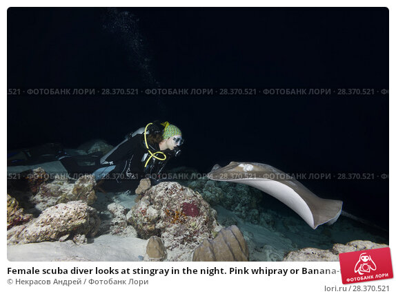 Купить «Female scuba diver looks at stingray in the night. Pink whipray or Banana-tail ray (Himantura fai)», фото № 28370521, снято 2 апреля 2018 г. (c) Некрасов Андрей / Фотобанк Лори