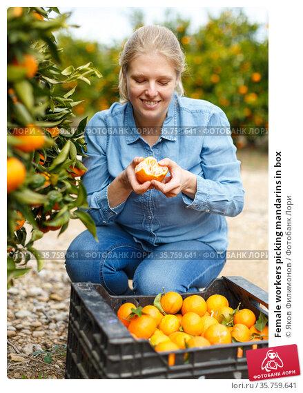 Female workers picking mandarins in box. Стоковое фото, фотограф Яков Филимонов / Фотобанк Лори