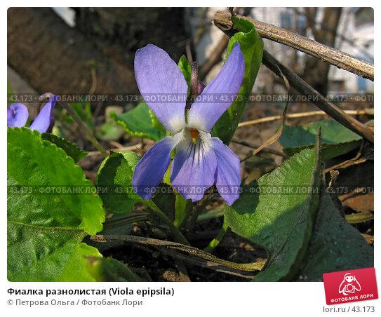 Купить «Фиалка разнолистая (Viola epipsila)», фото № 43173, снято 3 апреля 2007 г. (c) Петрова Ольга / Фотобанк Лори