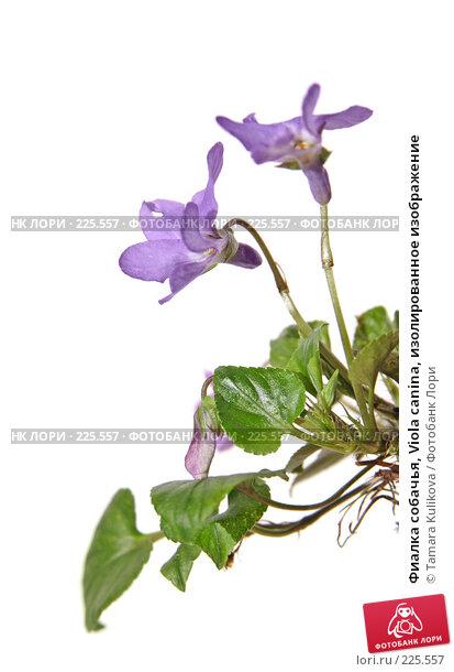 Купить «Фиалка собачья, Viola canina, изолированное изображение», фото № 225557, снято 17 марта 2008 г. (c) Tamara Kulikova / Фотобанк Лори