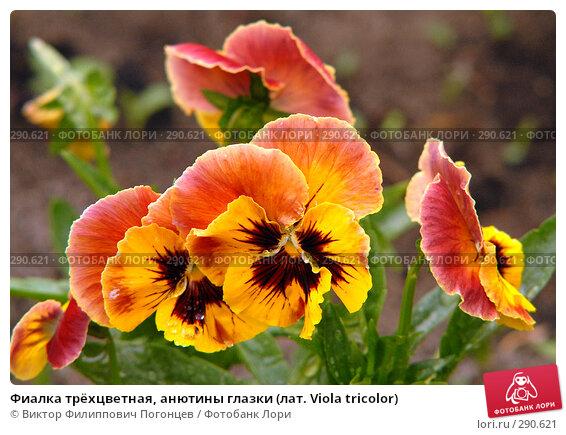 Фиалка трёхцветная, анютины глазки (лат. Viola tricolor), фото № 290621, снято 27 мая 2006 г. (c) Виктор Филиппович Погонцев / Фотобанк Лори