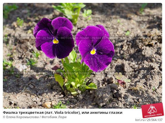 Купить «Фиалка трехцветная (лат. Viola tricolor), или анютины глазки», фото № 29564137, снято 30 мая 2018 г. (c) Елена Коромыслова / Фотобанк Лори