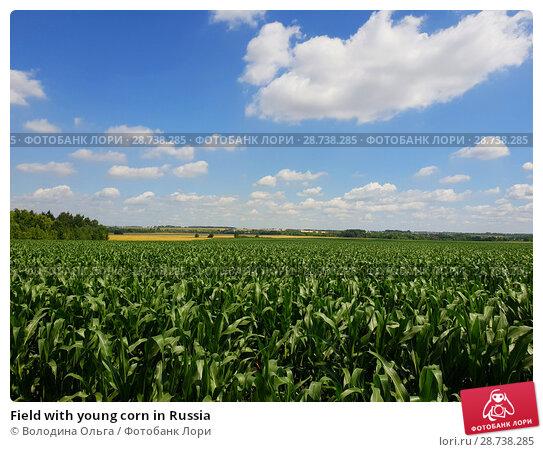 Купить «Field with young corn in Russia», фото № 28738285, снято 10 июля 2018 г. (c) Володина Ольга / Фотобанк Лори