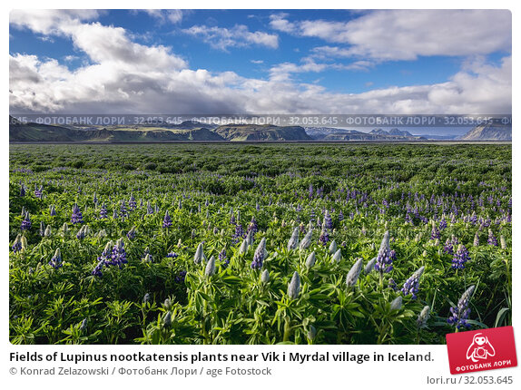 Fields of Lupinus nootkatensis plants near Vik i Myrdal village in Iceland. Стоковое фото, фотограф Konrad Zelazowski / age Fotostock / Фотобанк Лори