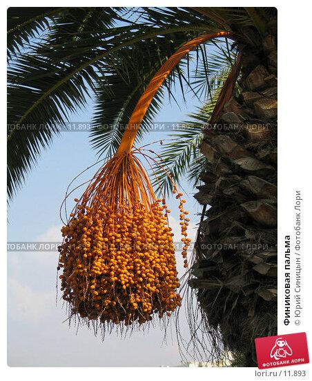 Купить «Финиковая пальма», фото № 11893, снято 18 сентября 2006 г. (c) Юрий Синицын / Фотобанк Лори