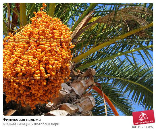 Финиковая пальма, фото № 11897, снято 18 сентября 2006 г. (c) Юрий Синицын / Фотобанк Лори