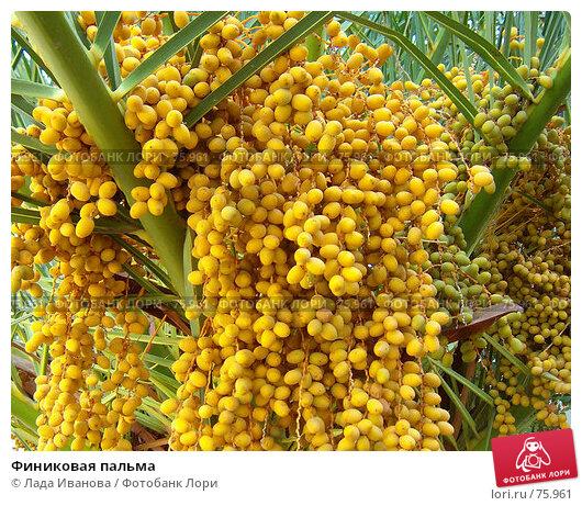 Финиковая пальма, фото № 75961, снято 3 января 2004 г. (c) Лада Иванова / Фотобанк Лори