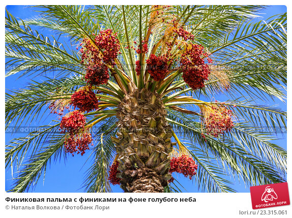 Купить «Финиковая пальма с финиками на фоне голубого неба», фото № 23315061, снято 26 ноября 2015 г. (c) Наталья Волкова / Фотобанк Лори
