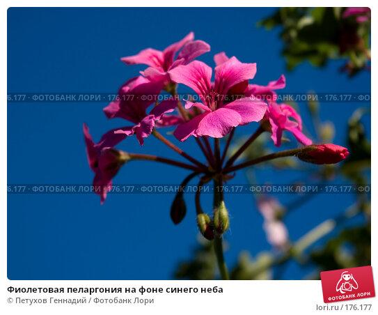 Купить «Фиолетовая пеларгония на фоне синего неба», фото № 176177, снято 23 июня 2007 г. (c) Петухов Геннадий / Фотобанк Лори