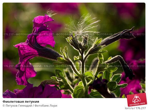 Фиолетовая петуния, фото № 176217, снято 24 июля 2007 г. (c) Петухов Геннадий / Фотобанк Лори