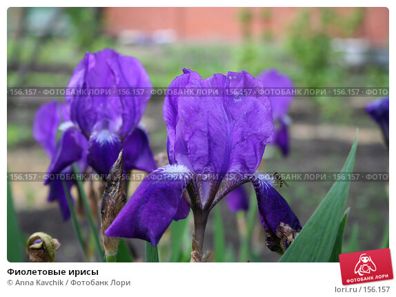 Фиолетовые ирисы, фото № 156157, снято 3 июня 2006 г. (c) Anna Kavchik / Фотобанк Лори