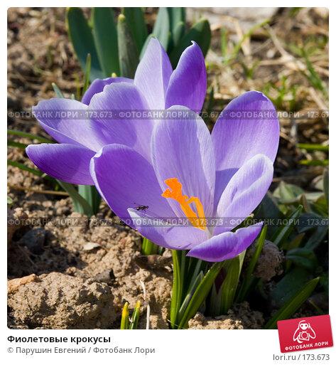Купить «Фиолетовые крокусы», фото № 173673, снято 19 марта 2018 г. (c) Парушин Евгений / Фотобанк Лори