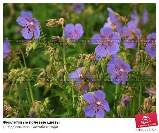 Фиолетовые полевые цветы, фото № 75725, снято 21 июля 2007 г. (c) Лада Иванова / Фотобанк Лори
