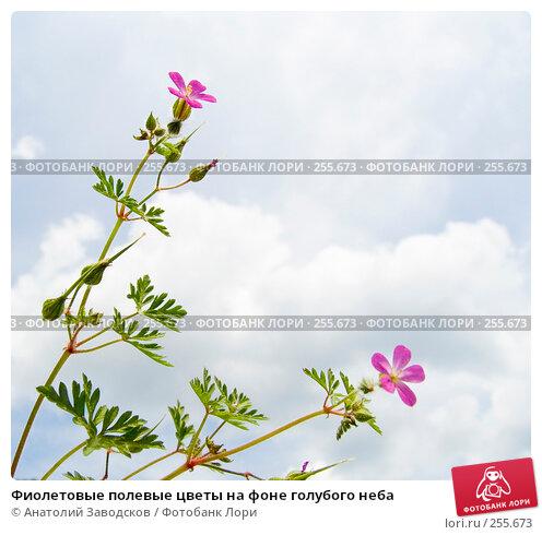 Фиолетовые полевые цветы на фоне голубого неба, фото № 255673, снято 22 мая 2006 г. (c) Анатолий Заводсков / Фотобанк Лори