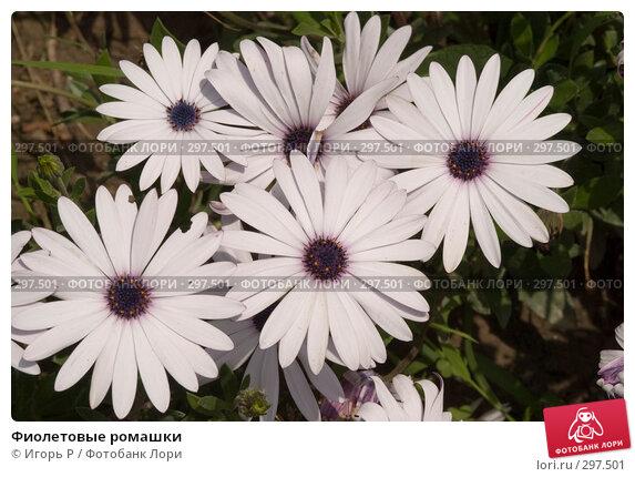 Фиолетовые ромашки, фото № 297501, снято 24 мая 2008 г. (c) Игорь Р / Фотобанк Лори