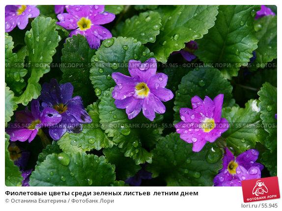 Фиолетовые цветы среди зеленых листьев  летним днем, фото № 55945, снято 26 мая 2007 г. (c) Останина Екатерина / Фотобанк Лори