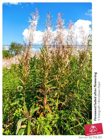 Купить «Fireweed faded after flowering», фото № 33774101, снято 16 августа 2019 г. (c) FotograFF / Фотобанк Лори