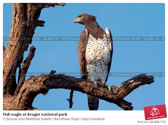 Fish eagle at kruger national park. Стоковое фото, фотограф Zoonar.com/Matthieu Gallett / easy Fotostock / Фотобанк Лори
