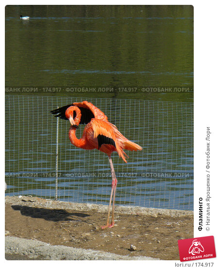 Фламинго, фото № 174917, снято 4 мая 2006 г. (c) Наталья Ярошенко / Фотобанк Лори