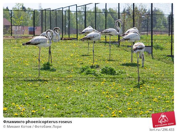 Фламинго phoenicopterus roseus, фото № 296433, снято 13 мая 2008 г. (c) Михаил Котов / Фотобанк Лори