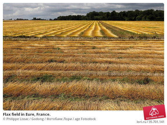 Flax field in Eure, France. Стоковое фото, фотограф Philippe Lissac / Godong / age Fotostock / Фотобанк Лори