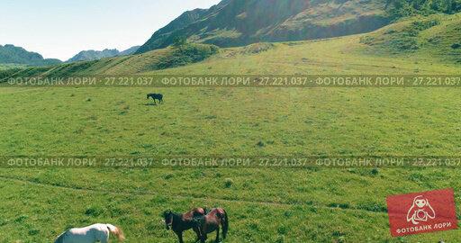 Купить «Flight over wild horses herd on meadow. Spring mountains wild nature. Freedom ecology concept.», видеоролик № 27221037, снято 13 ноября 2017 г. (c) Александр Маркин / Фотобанк Лори