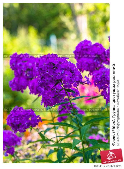 Купить «Флокс (Phlox). Группа цветущих растений», фото № 28421093, снято 13 августа 2017 г. (c) Ольга Сейфутдинова / Фотобанк Лори