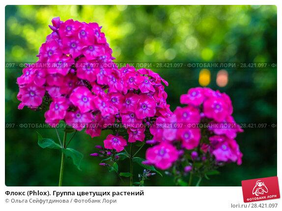 Купить «Флокс (Phlox). Группа цветущих растений», фото № 28421097, снято 13 августа 2017 г. (c) Ольга Сейфутдинова / Фотобанк Лори