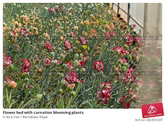 Купить «Flower bed with carnation blooming plants», фото № 28433537, снято 1 апреля 2017 г. (c) Kira_Yan / Фотобанк Лори