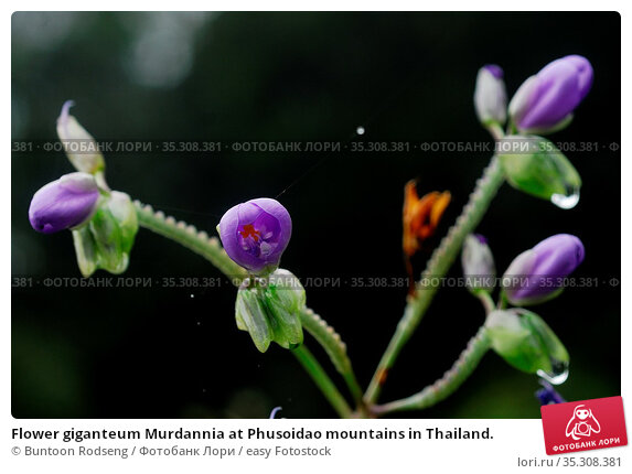 Flower giganteum Murdannia at Phusoidao mountains in Thailand. Стоковое фото, фотограф Buntoon Rodseng / easy Fotostock / Фотобанк Лори