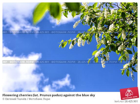 Купить «Flowering cherries (lat. Prunus padus) against the blue sky», фото № 28425901, снято 21 мая 2016 г. (c) Евгений Ткачёв / Фотобанк Лори
