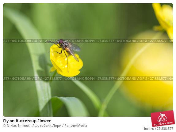Купить «Fly on Buttercup Flower», фото № 27838577, снято 24 апреля 2019 г. (c) PantherMedia / Фотобанк Лори