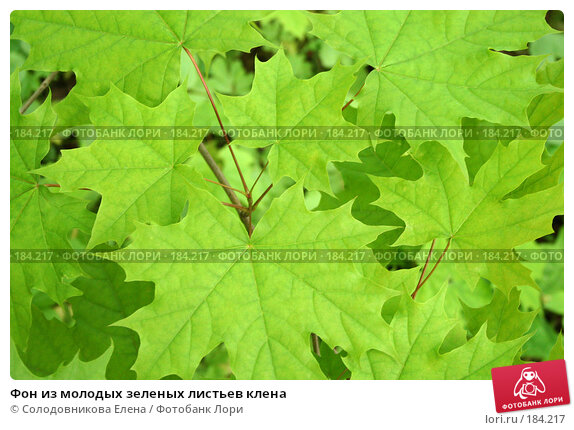 Фон из молодых зеленых листьев клена, фото № 184217, снято 24 мая 2006 г. (c) Солодовникова Елена / Фотобанк Лори