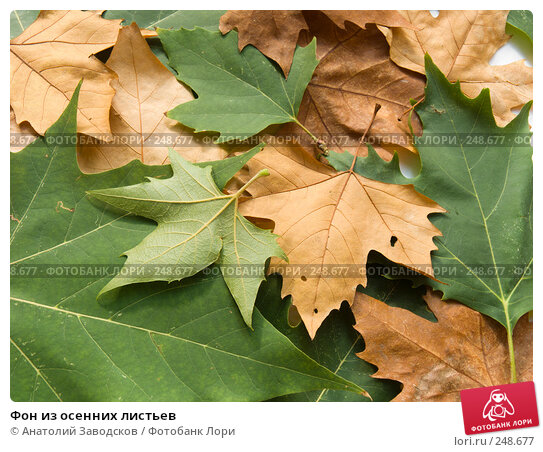 Фон из осенних листьев, фото № 248677, снято 25 сентября 2007 г. (c) Анатолий Заводсков / Фотобанк Лори