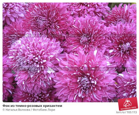 Фон из темно-розовых хризантем, фото № 103113, снято 22 августа 2016 г. (c) Наталья Волкова / Фотобанк Лори