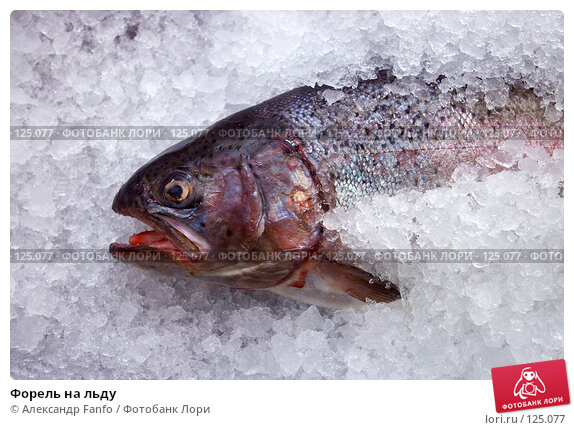 Купить «Форель на льду», фото № 125077, снято 22 ноября 2017 г. (c) Александр Fanfo / Фотобанк Лори