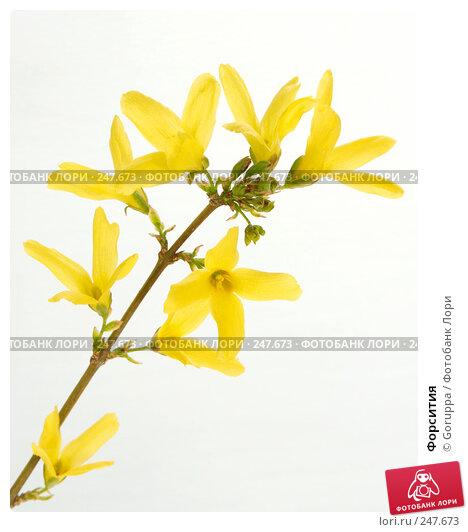 Форсития, фото № 247673, снято 9 апреля 2008 г. (c) Goruppa / Фотобанк Лори