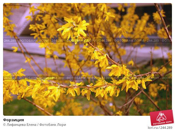 Форзиция, фото № 244289, снято 23 марта 2008 г. (c) Лифанцева Елена / Фотобанк Лори